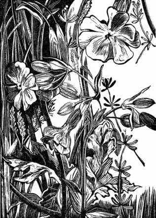 'White Campion - arable field margin' 2016. Series of 75. Wood engraving. 10 x 7cm.