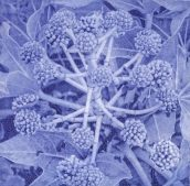 'Fantasia Japonica' Solar Plate Etching.
