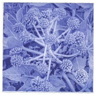 'Fatsia Japonica'. Edition of 12. Solar etching. 25 X 25cm.